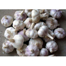 More Spicy Common Purple Garlic